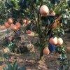 Đặc điểm cây bưởi đỏ Phúc Kiến
