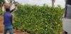 Tường cây xanh giá rẻ Nhà Vườn Đức Tiến Phát cung cấp cây xanh và thi công tận nơi