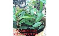 Phương pháp trồng và chăm sóc cây sầu riêng đúng kỹ thuật