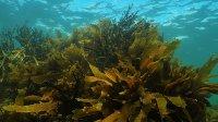 Tác dụng và lợi ích sức khỏe của rong biển nâu