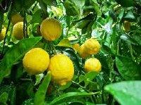 Kĩ thuật trồng cây chanh vàng