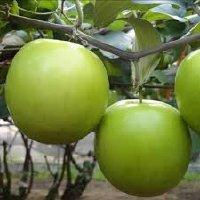 Đặc điểm cây Táo Thái