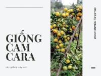 Giống cây cam Ca-ra