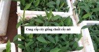 Cung cấp cây giống chuối cấy mô - Giống cây trồng Trung ương