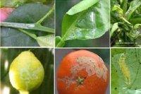 Biện pháp phòng ngừa sâu bệnh hại cây chanh