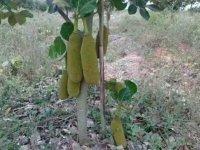 Kỹ thuật trồng mít Malaysia cho năng suất cao