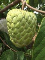 Kĩ thuật trồng cây Na Thái