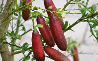 Kĩ thuật trồng chanh ngón tay