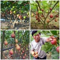 Kỹ thuật trồng sung mỹ