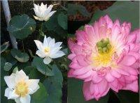 3 bước cơ bản để tự trồng sen tại nhà