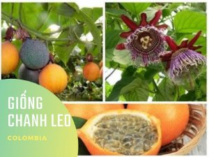 Chanh leo giống Colombia