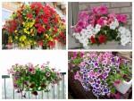 Hướng dẫn chi tiết từng bước trồng hạt giống hoa Dạ yến thảo