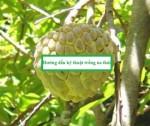 Hướng dẫn kỹ thuật trồng Na Thái