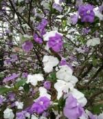 Sỉ cây giống Lài Nhật đẹp rẻ