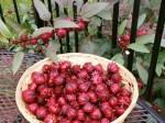 8 lý do khiến bạn quyết định sử dụng nước cốt quả Hibiscus ngay hôm nay