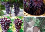 Giới thiệu đặc điểm cây giống nho ngón tay
