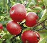 Giới thiệu cây giống táo tây ruột đỏ