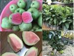 Giới thiệu giống ổi ruột đỏ không hạt Thái Lan