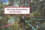 Điểm đặc trưng của giống sầu riêng Musang King