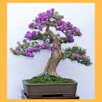 Kinh nghiệm chăm sóc giúp cây Linh Sam ra nhiều hoa và đẹp