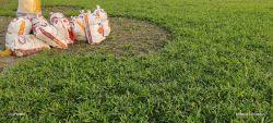 Giá cỏ lá gừng - thi công sân vườn trồng cỏ nhà vườn Đức Tiên Phát