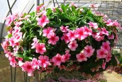 Kỹ Thuật ươm trồng hoa dừa cạn từ hạt