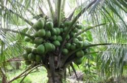 Cung cấp dừa xiêm dây  - giống dừa siêu trái