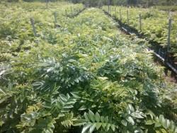 Cung cấp cây Sưa đỏ cao khoảng 50- 70 cm