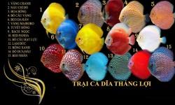 Trại cá dĩa Thắng Lợi chuyên bán các loại cá dĩa loại 1