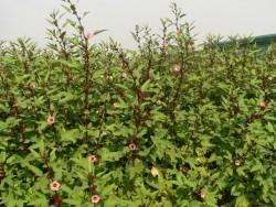 Chia sẻ phương pháp trồng cây Atiso đỏ