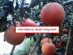 Giới thiệu kỹ thuật trồng bưởi