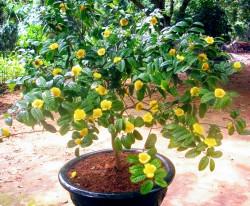 Đặc điểm giống cây trà hoa vàng