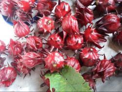 Những tên gọi khác nhau của Hoa Atiso Đỏ (Hibiscus) hay còn gọi là Hoa Bụp Giấm trên thế giới