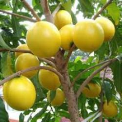 Cách trồng cây vú sữa vàng Hoàng Kim