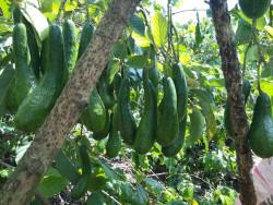 Giới thiệu nguồn gốc giống bơ 034  - vườn bơ đầu dòng Dậu Loan