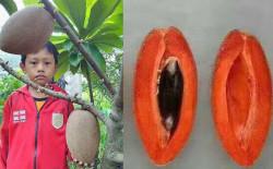 Khám phá kinh ngạc giống hồng xiêm ruột đỏ cho trái 'khủng' 2kg/quả