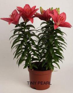 Tuyển sỉ hoa Lily chậu - Giá bao rẻ toàn miền Bắc