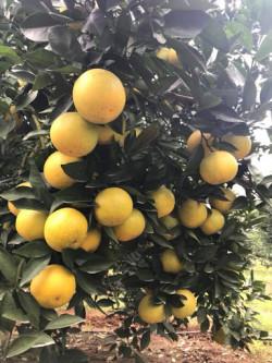 Cây giống cam vàng Mỹ Navel