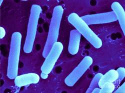 Men vi sinh Lactobacillus reuteri và những tác dụng không ngờ
