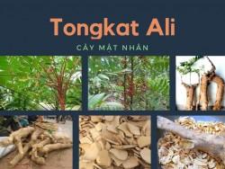 Tongkat Ali là gì?