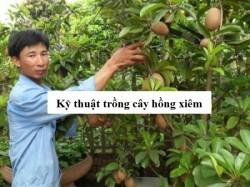 Kỹ thuật trồng và chăm sóc cây hồng xiêm cho quả sai trĩu quanh năm