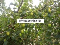 Kỹ thuật trồng táo