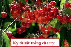 Kỹ thuật trồng cherry