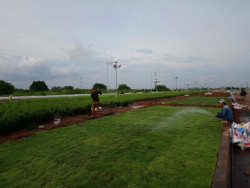 Hướng dẫn cách trồng và chăm sóc cỏ nhung Nhật