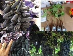 Giới thiệu cây giống nho quả dài đen Úc
