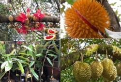 Giống sầu riêng ruột đỏ được tìm thấy ở Malaysia đã được nhập trực tiếp về Việt Nam