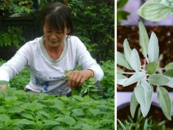 Cách trồng và chăm sóc cây kinh giới tại nhà