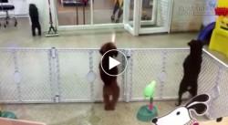 Bật cười với clip chú chó nhảy salsa chuyên nghiệp
