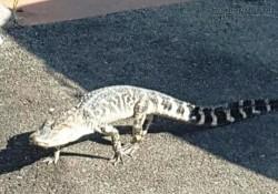 Hốt hoảng phát hiện cá sấu lang thang trên đường phố