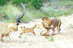 Hãy nhìn cách sư tử dạy con – bài học cho chúng ta!